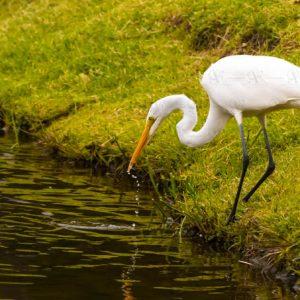 Great White Egret – Ardea alba