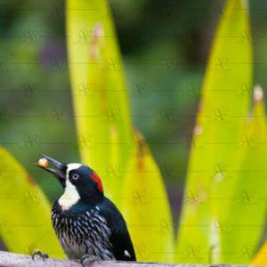 Acorn Woodpecker – Melanerpes formicivorus