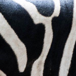 Zebra – Equus zebra