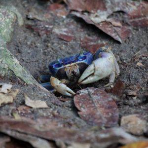 Blue land crab – Cardisoma guanhumi